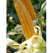 Nasiona kukurydzy SAATBAU ODILO (FAO 240)